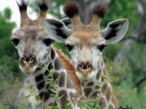 marla-ahlgrimm-baby-giraffes